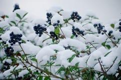 Śnieżny krzak z zieleń liśćmi i rowan jagodami Fotografia Royalty Free