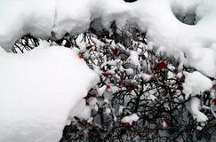 Śnieżny krzaka tło Zdjęcie Royalty Free