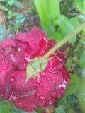 Śnieżny kwiat Zdjęcia Royalty Free