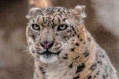 Śnieżny lampart, Panthera uncia, patrzeje ciebie Fotografia Stock