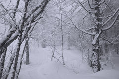 Śnieżny las na Północnym skłonu Aibga grani westernie Kaukaz Obraz Stock