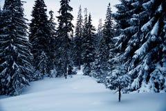 Śnieżny las w zachodzie Ukraina Obraz Royalty Free