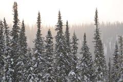 Śnieżny las, wzór, jadł, zaświeca, delikatny zdjęcia stock