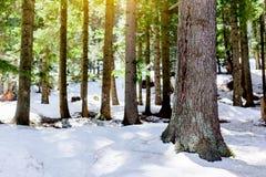 Śnieżny modrzewiowy las z światłem słonecznym i cień Piękną zieloną sosną Obrazy Stock