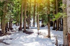 Śnieżny modrzewiowy las z światłem słonecznym i cień Piękną zieloną sosną Obraz Stock