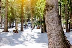 Śnieżny modrzewiowy las z światłem słonecznym i cień Piękną zieloną sosną Fotografia Stock