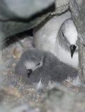 Śnieżny petrlu kurczątko w gniazdeczku wśród skał. Fotografia Stock