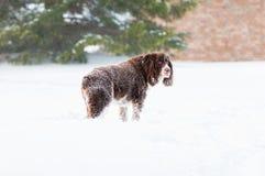 Śnieżny pies Obraz Royalty Free
