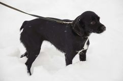śnieżny psi smycz Zdjęcie Stock