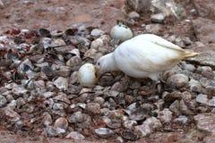 Śnieżny Sheathbil który je jajecznego pingwinu w gniazdeczku Zdjęcie Royalty Free