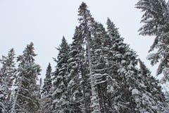 śnieżny sosny drzewo Zdjęcie Stock