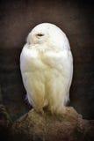 Śnieżny sowa rocznik Fotografia Royalty Free