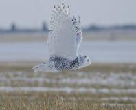 Śnieżny sowy latanie Zdjęcie Stock
