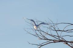 Śnieżny sowy latanie podczas gdy Tropiący obrazy royalty free