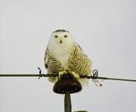 Śnieżny sowy obsiadanie na słupie zdjęcie royalty free