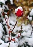Śnieżny Wzrastał Fotografia Stock