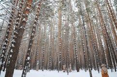 Śnieżny zimy sosny las Zdjęcia Stock