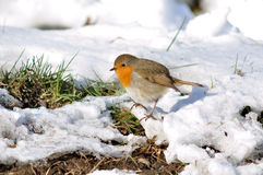 śnieżny zmielony rudzik Fotografia Stock