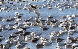 Śnieżnych gąsek spadku migracja obraz stock