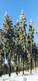 Śnieżyści Conifers Zdjęcie Royalty Free