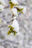 Śnieżyści jabłko pierścionki Fotografia Royalty Free