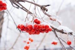 Śnieżyści nadzy branchs Rowan z wielką wiązką czerwone jagody Zdjęcie Royalty Free