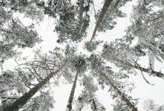 Śnieżyści wierzchołki drzewa w lesie Obrazy Stock
