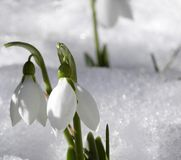 śnieżyczka zdjęcie stock