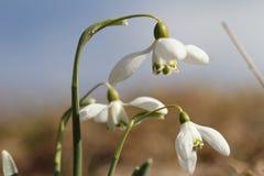 Śnieżyczka białego kwiatu wiosna w lesie Obrazy Stock