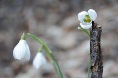 Śnieżyczka białego kwiatu wiosna w lesie Obraz Stock