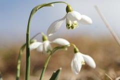 Śnieżyczka białego kwiatu wiosna w lesie Zdjęcia Stock