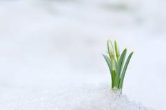 Śnieżyczka i Śnieg obraz royalty free