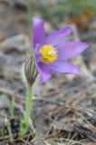 Śnieżyczka kwiat w wiośnie Fotografia Royalty Free