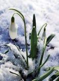 Śnieżyczka kwitnie Galanthus nivalis obrazy stock