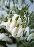 Śnieżyczka kwitnie Galanthus nivalis zdjęcie royalty free