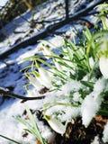 Śnieżyczka kwitnie Galanthus nivalis zdjęcia stock