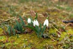 Śnieżyczka kwitnie w wiośnie zdjęcie stock