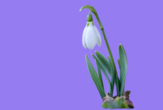 Śnieżyczka - pierwszy wiosna kwiat na purpurowym tle obrazy stock
