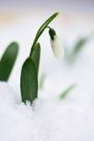 Śnieżyczka w śniegu Zdjęcia Royalty Free
