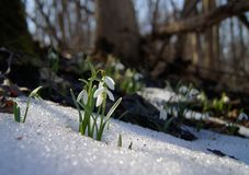 Śnieżyczka Fotografia Royalty Free