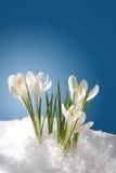 śnieżyczki Obrazy Royalty Free