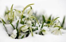 Śnieżyczki Zdjęcia Royalty Free