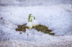 śnieżyczki Fotografia Royalty Free