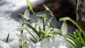 śnieżyczki