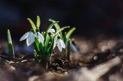 śnieżyczki Zdjęcie Stock