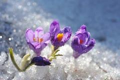 Śnieżyczki Obraz Royalty Free