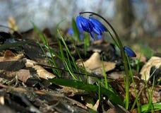 Śnieżyczki błękita spirala z trawą fotografia stock