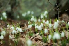 Śnieżyczki, Crimea Zdjęcia Royalty Free
