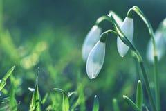 Śnieżyczki (Galanthus nivalis) Kwitną w wiosna sezonie Piękny naturalny zamazany tło z słońce promieniami Obrazy Royalty Free