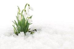 Śnieżyczki i śnieg Zdjęcia Royalty Free
